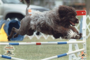 Tommie doing agility