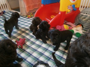 Puppies at 5 weeks, can you spot the brown ones