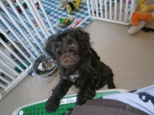 Gidget puppy