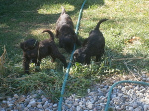 Puppies playing outdoors